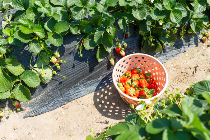 icking Strawberries in Adelaide Hills